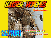 Live Lobster Roaches