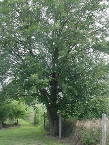 Small Mulberry Tress